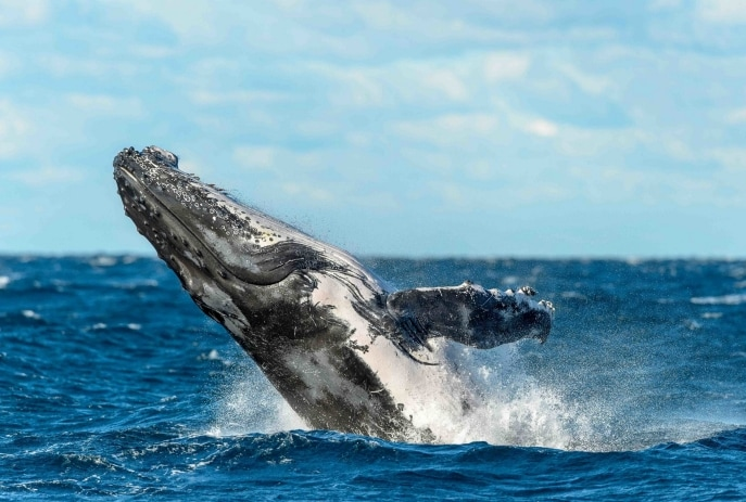 Humpback Whale, Sydney, NSW © Trevor Scouten & Oz Whale Watching