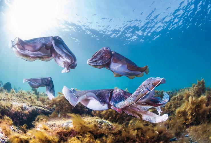Swim with the cuttlefish, Stony Point, SA © Carl Charter