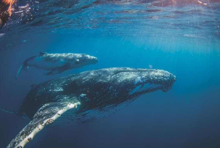 Swimming with the whales, Sunreef Mooloolaba, Sunshine Coast, QLD © Migration Media Underwater Imaging