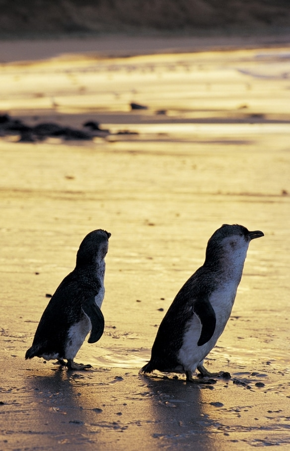 Little penguins, Phillip Island Nature Park, VIC © Phillip Island Nature Park
