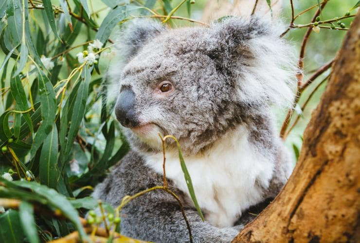 Koala at Healesville Sanctuary, Yarra Valley, VIC © Tourism Australia, Time Out Australia