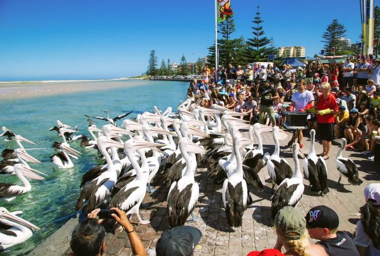 Pelicans, The Entrance, NSW © Tourism Australia