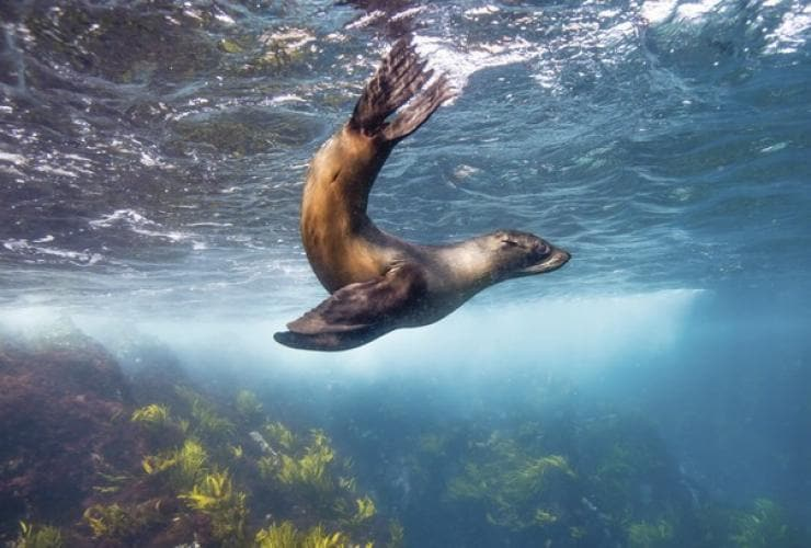 Sea lion, Montague Island, near Narooma, NSW © Destination NSW