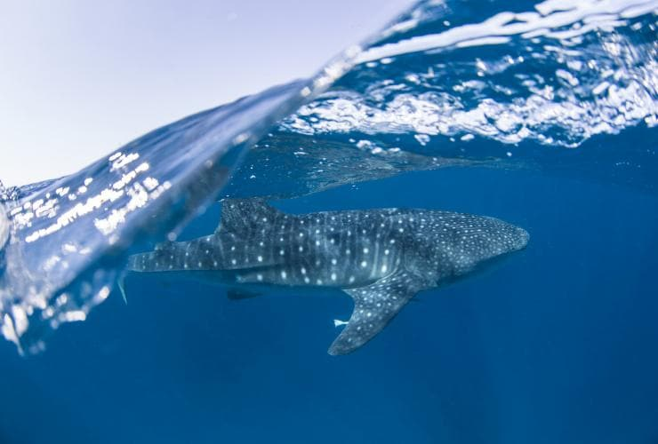Whale shark, Ningaloo Reef, Coral Coast, WA © Sean Scott