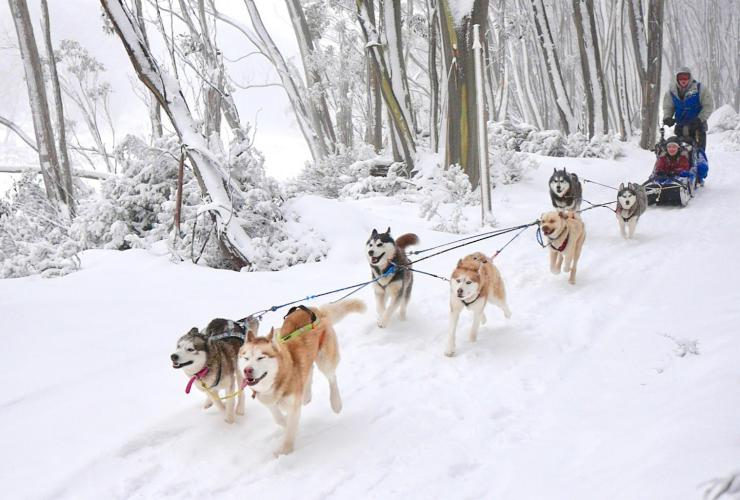 Howling Huskys Dog Sled Tours, Mount Hotham, High Country, VIC © Howling Huskys Dog Sled Tours