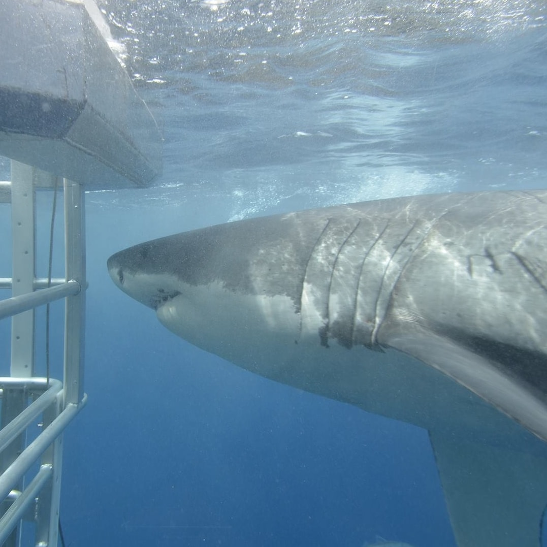 Shark cage diving in Port Lincoln © Adventure Bay Charters