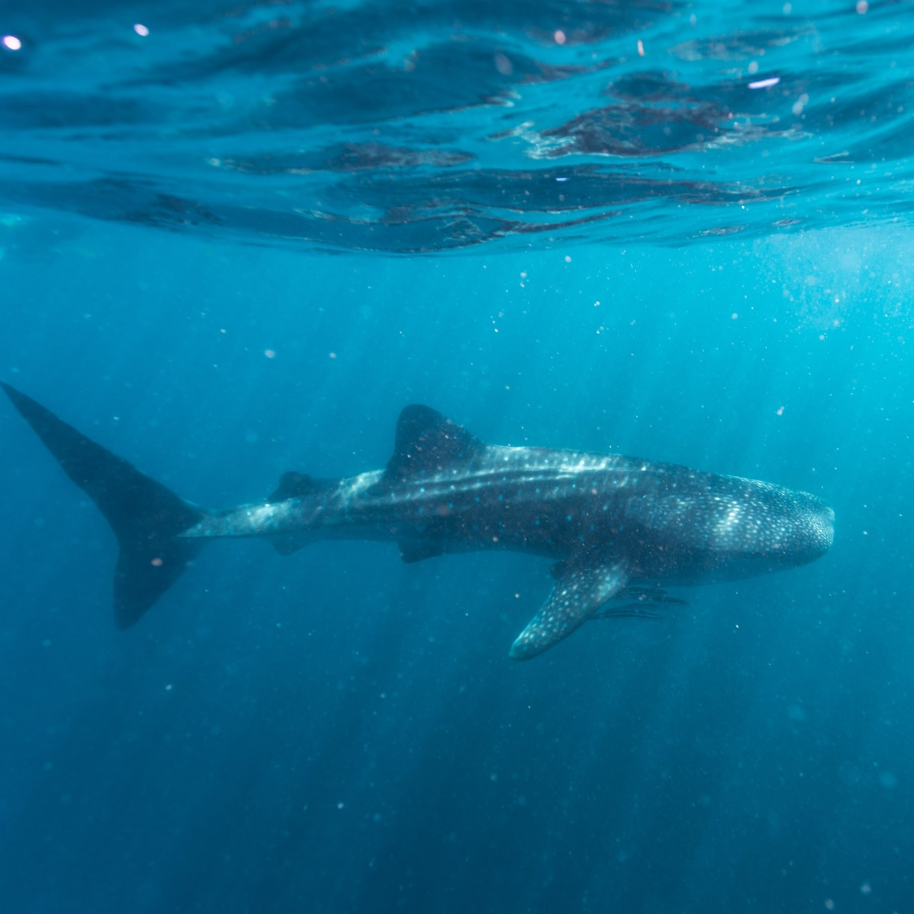 Whale shark at Ningaloo Reef © Tourism Western Australia