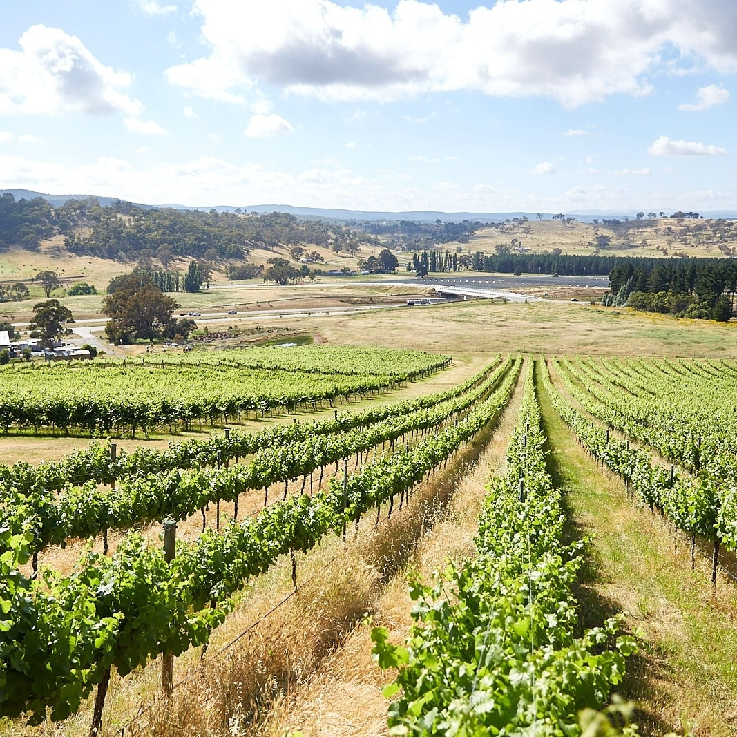 Rows of grape vines in a vineyard in the Canberra District Wine Region © ACT Tourism