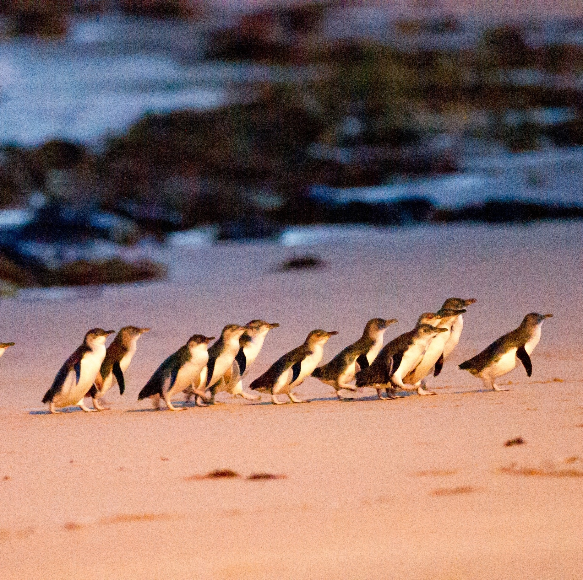 Tiny penguins on Phillip Island in Victoria © Tourism Australia