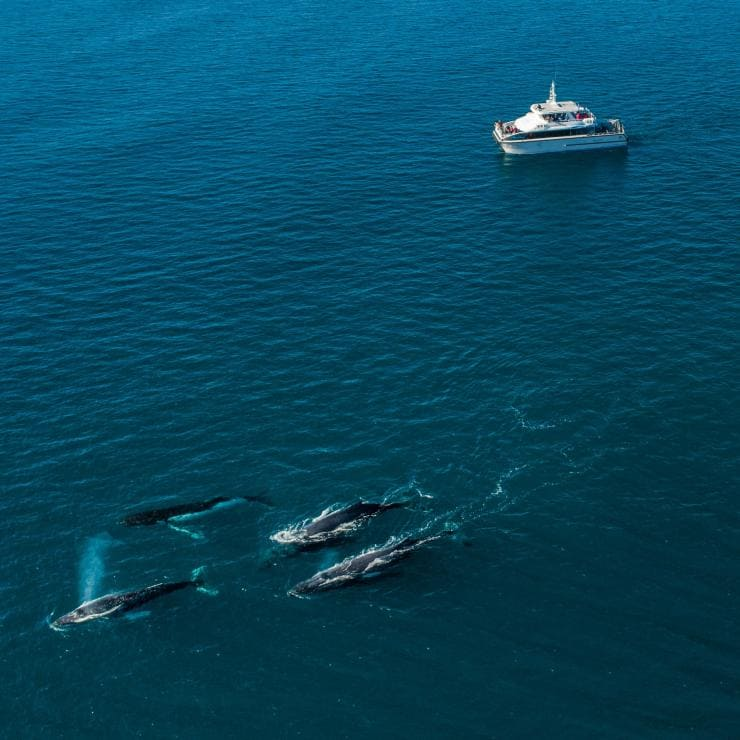 Aerial of a Naturaliste Charters boat alongside whales near Dunsborough © Tourism Australia