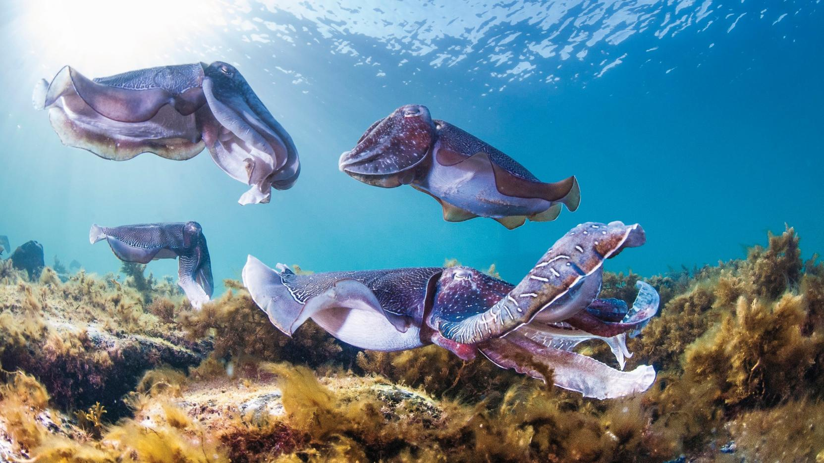 Swim with the giant cuttlefish with PureSA, Stony Point, SA © Carl Charter, South Australian Tourism Commission