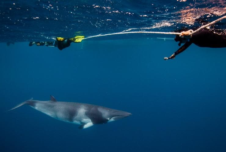 Snorkelers swim above a dwarf minke whale near Cairns © Mike Ball Dive Expeditions