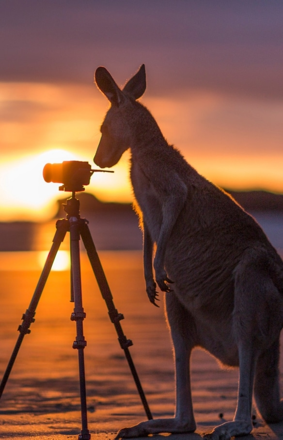 Kangaroo checking out camera in Cape Hillsborough National Park © Matt Glastonbury/Tourism and Events Queensland