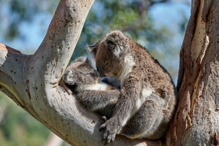 Koalas cuddling in a tree at Mount Lofty in South Australia © George Papanicolaou