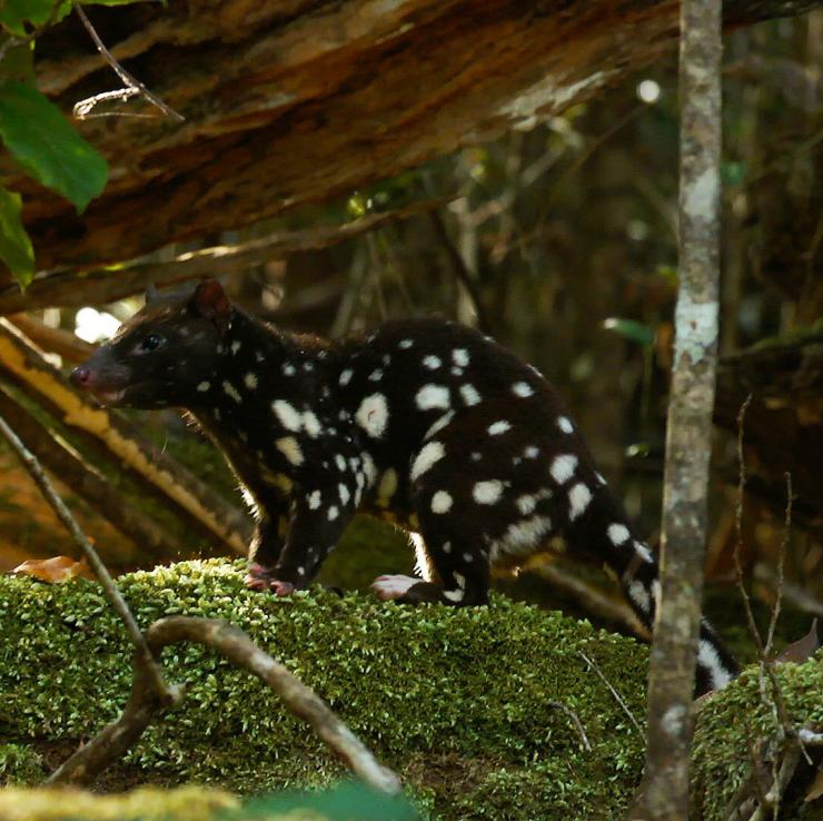 A spotted-tailed quoll in the rainforest of the Atherton Tablelands © FNQ Nature Tours/James Boettcher
