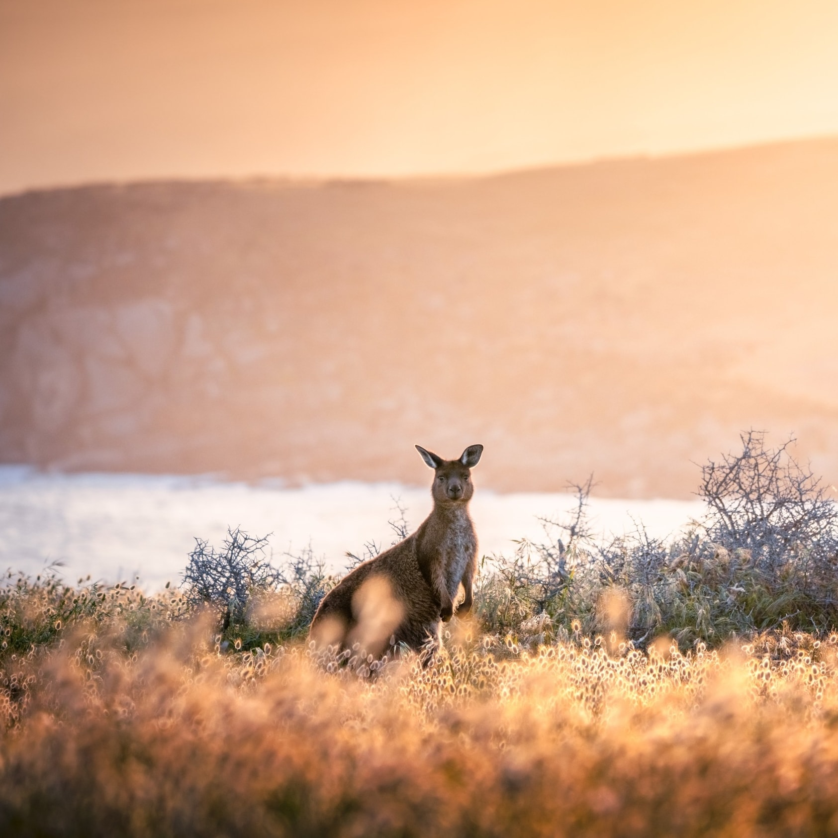 Kangaroo at sunset in Cape Willoughby © South Australian Tourism Commission