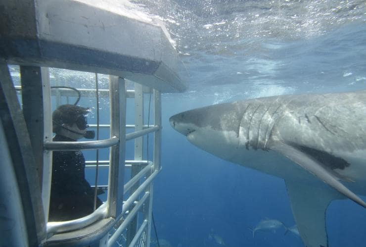 Shark cage diving, Port Lincoln, SA © Adventure Bay Charters
