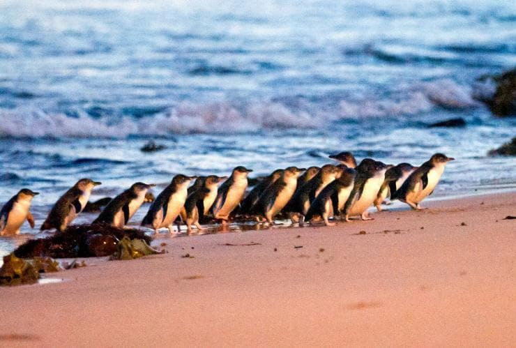 Group of little penguins waddle onto the beach from the sea © SDP Media