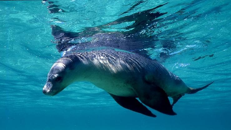Swimming with sea lions, Jurien Bay, WA © Britz
