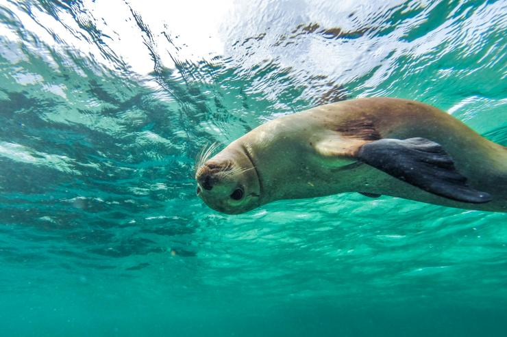 Swimming with sea lions, Baird Bay, Eyre Peninsula, SA © South Australian Tourism Commission