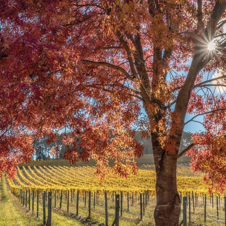 Autumn at Centennial Vineyards, Bowral in the Southern Highlands © Kramer Photography