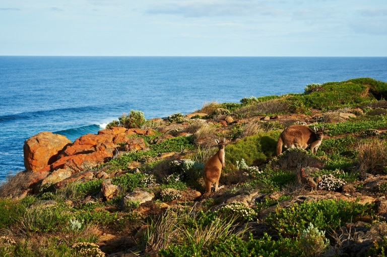 Kangaroos on the Cape to Cape Track © Walk Into Luxury