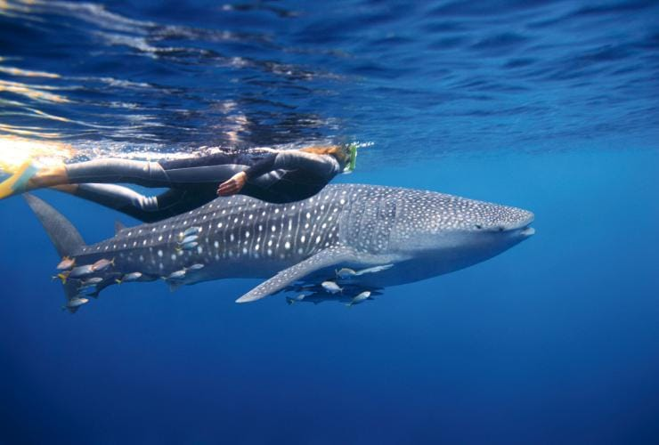 Swimming with whale sharks, Ningaloo Marine Park, WA © Tourism Australia