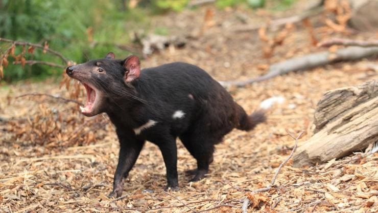 Tasmanian devil, Premier Travel Tasmania, TAS © Australian Wildlife Journeys