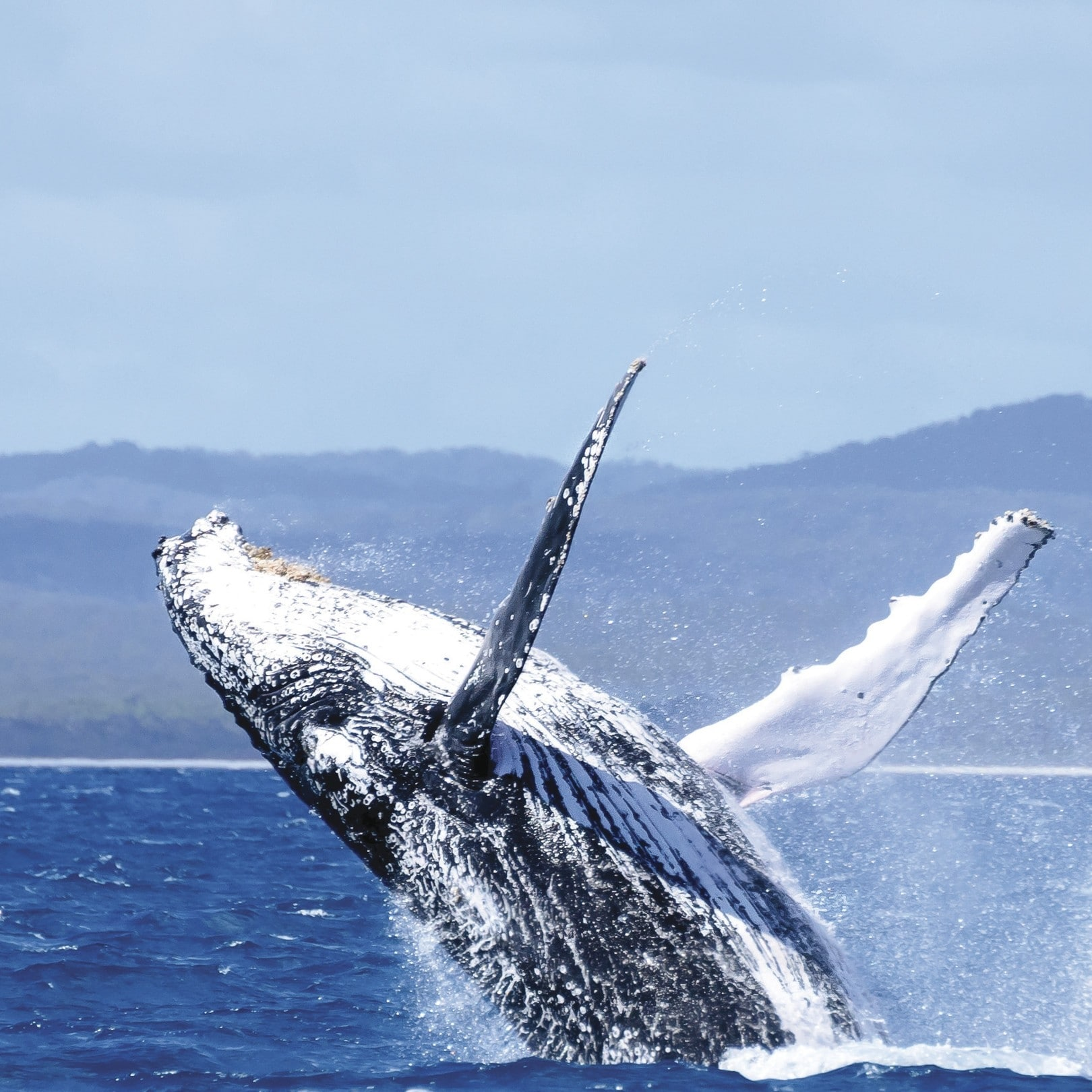 Humpback Whale breaching off the coast of Hervey Bay © Tourism and Events Queensland/Jewels Lynch