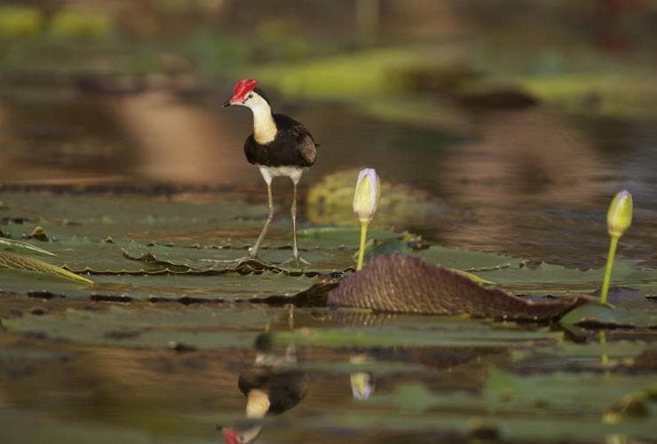 Comb-crested Jacana bird on the water lilies at Bamurru Plains in Point Stuart © Wild Bush Luxury