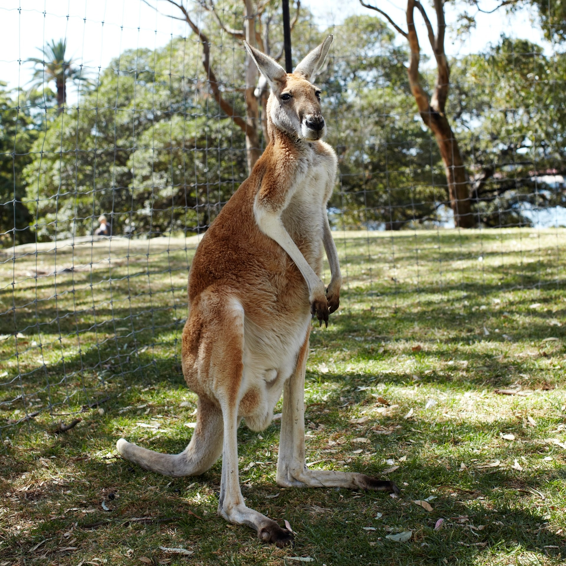 A red kangaroo at Oakvale Farm & Fauna World  © Tourism Australia