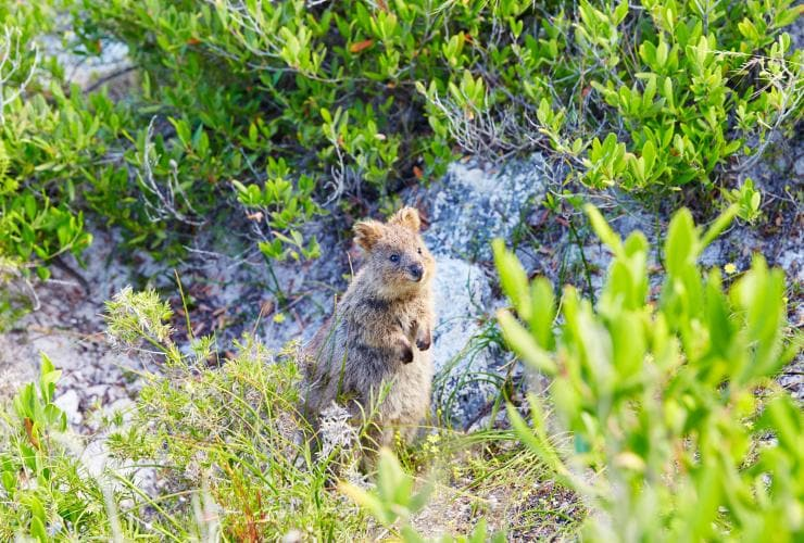 Quokka peeks its head out from the grassy undergrowth on Rottnest Island in Western Australia © Rottnest Island Authority