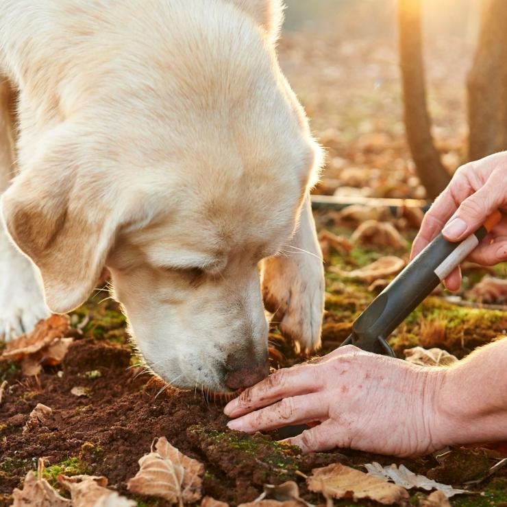 Dog hunting for truffles in Manjimup © Australia's South West