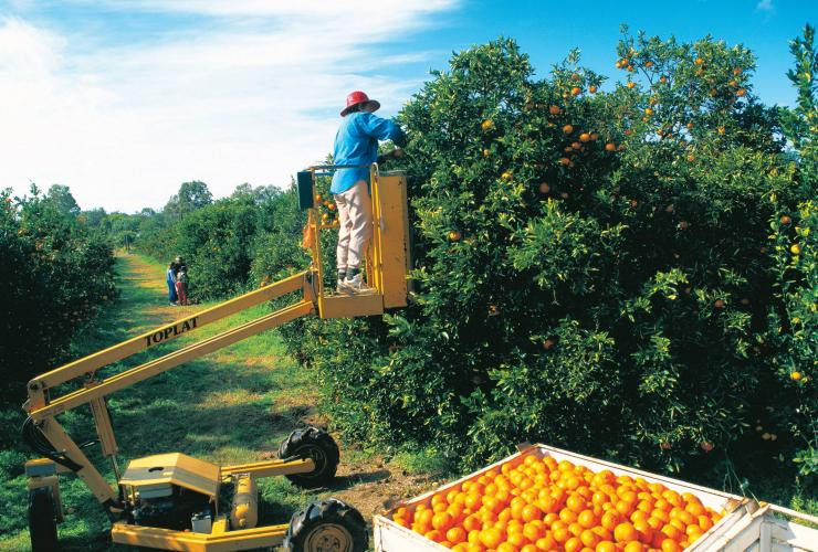 Citrus Picking/ farm work, Gayndah, Bundaberg, QLD © Tourism and Events Queensland