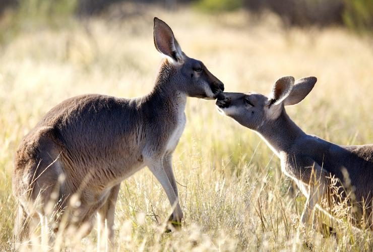 The Kangaroo Sanctuary, Alice Springs, NT © The Kangaroo Sanctuary