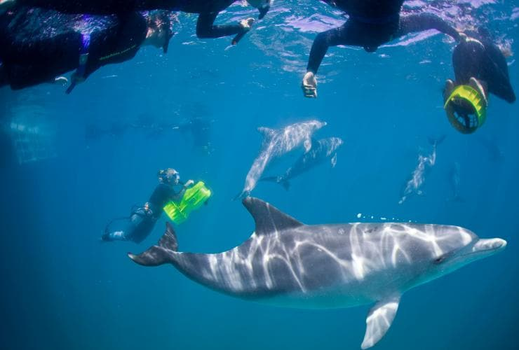 Swim with dolphins, Rockingham Wild Encounters, Rockingham, WA © Rockingham Wild Encounters