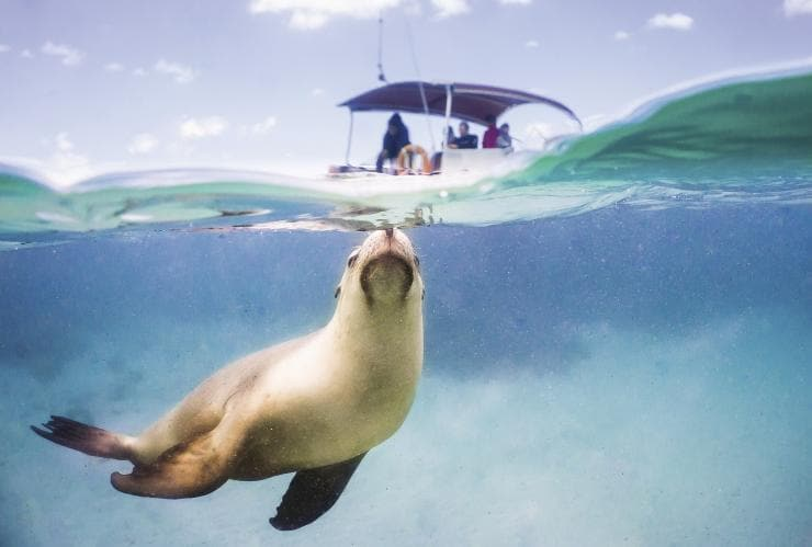 Swim with sea lions, Eyre Peninsula, SA © South Australian Toursim Commission