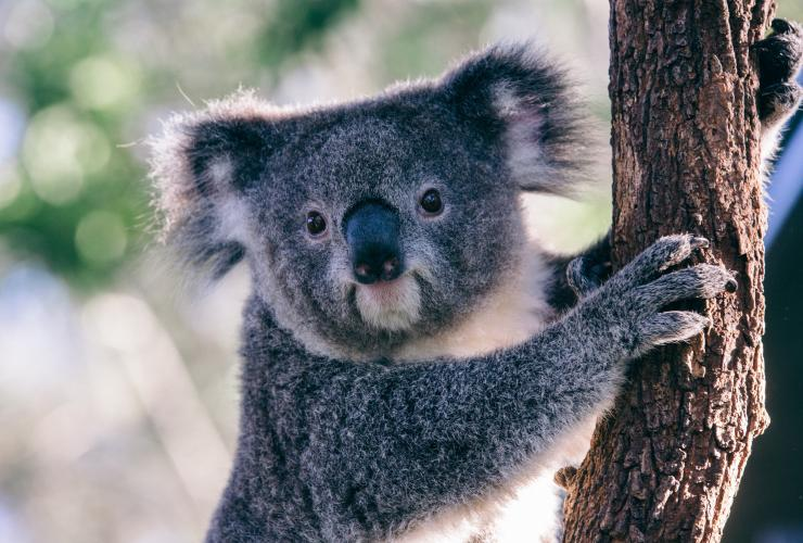 Koala at Taronga Zoo, Sydney, NSW © Tourism Australia