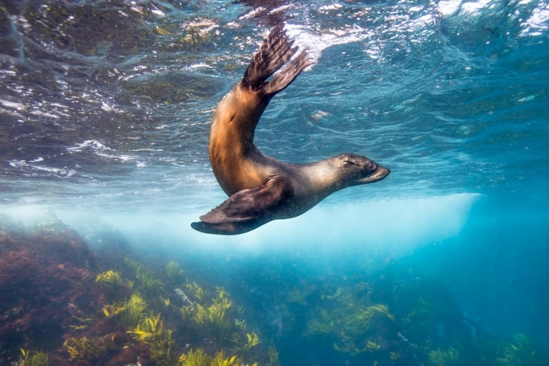 Australian fur seal at Montague Island, Narooma, NSW © Destination NSW