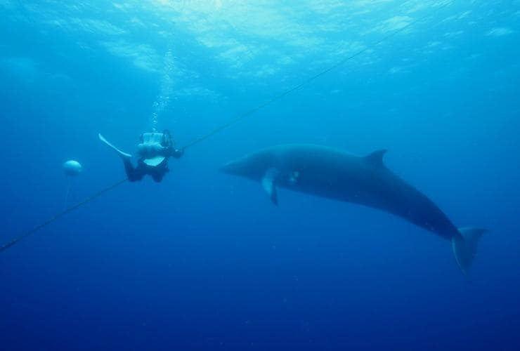Swimming with dwarf minke whales, Great Barrier Reef, QLD © Tourism and Events Queensland