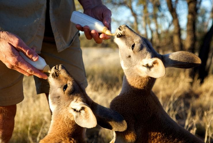 Roos being bottle fed, The Kangaroo Sanctuary, Alice Springs, Northern Territory © The Kangaroo Sanctuary