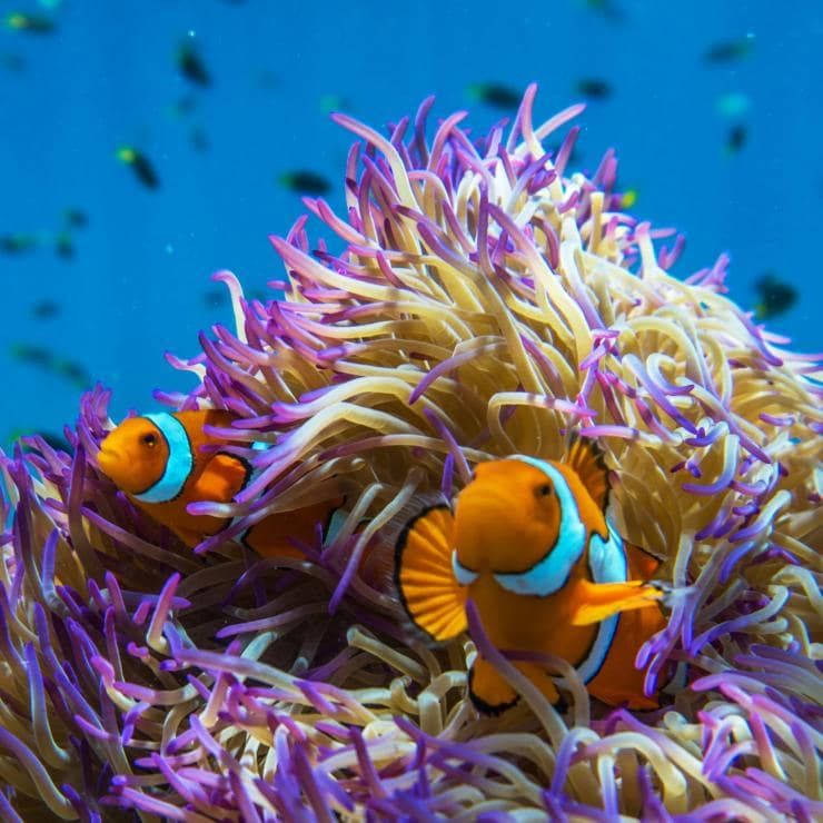 Clownfish, Frankland Islands, QLD © Phil Warring