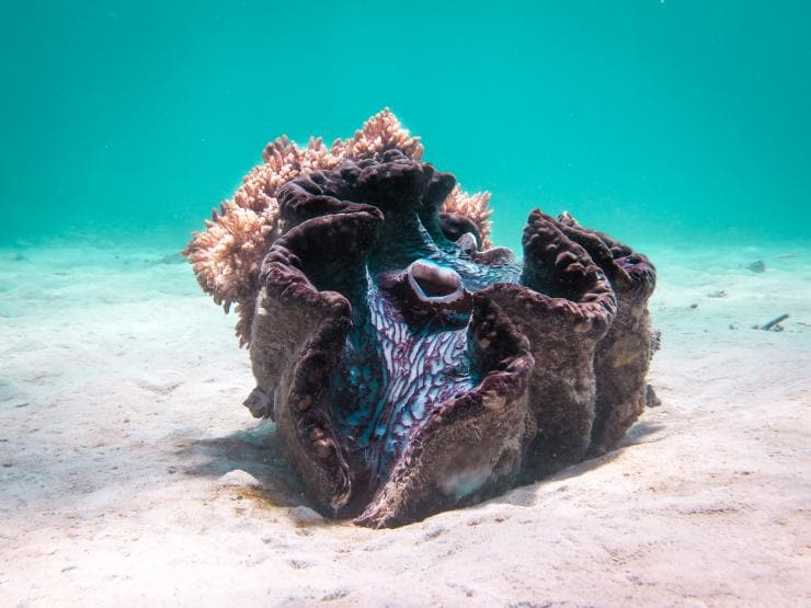 Giant Clam, Coral Gardens, QLD © Jemma Craig/Tourism and Events Queensland