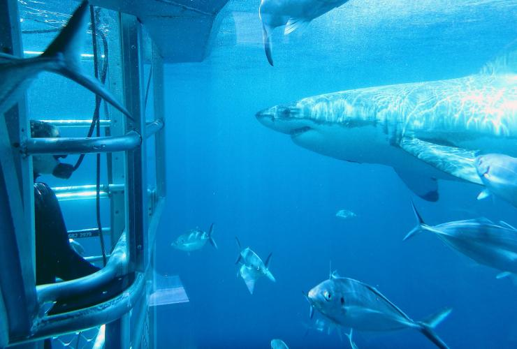 Shark cage diving with Adventure Bay Charters near Port Lincoln © Adventure Bay Charters