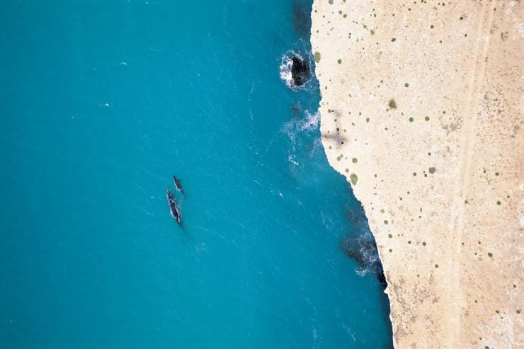 Southern right whales swimming by the Head of Bight in South Australia © South Australian Tourism Commission