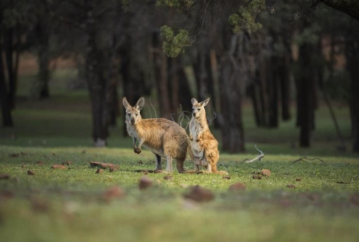 Kangaroos in Mungo National Park © Destination NSW