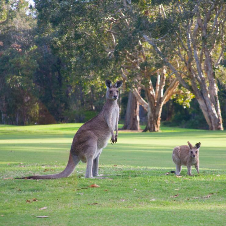 Kangaroos on the green at Noosa Golf Club in Tewantin © Noosa Golf Club