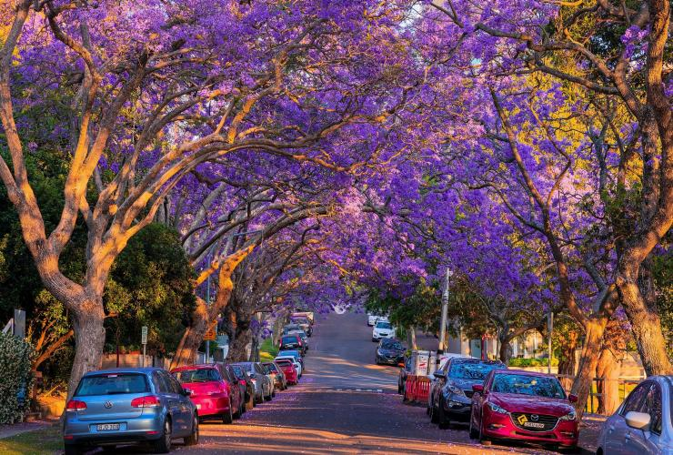 A road surrounded by purple jacaranda trees © Destination NSW