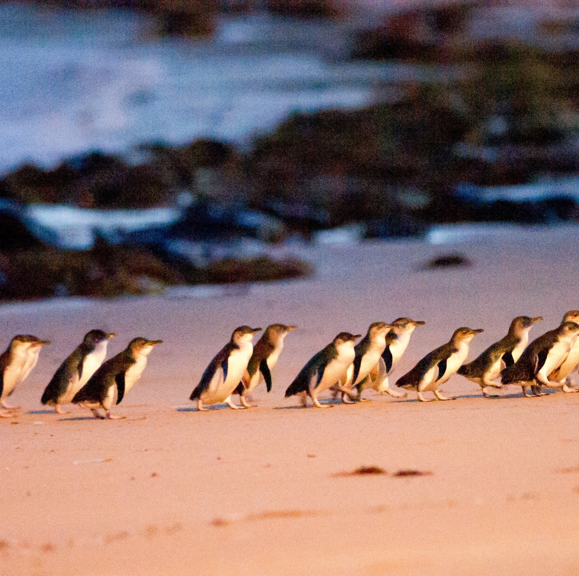 Penguin Parade on Phillip Island in Victoria © Tourism Australia