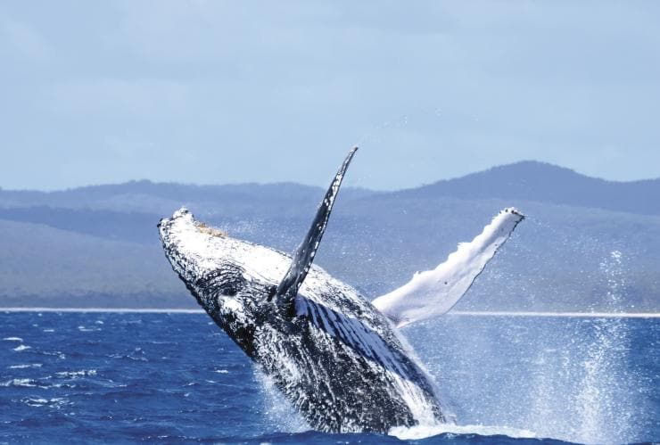 Whale, Hervey Bay, QLD © JZphotography